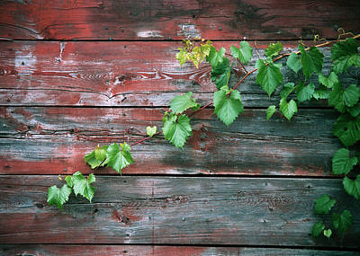 Photograph - Vine, Traverse City by Kenneth Campbell