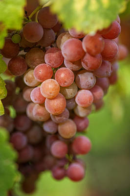 Grapevine Photograph - Vine With Red Grapes by Jenny Rainbow