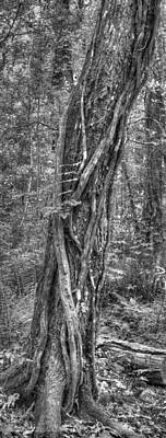 Cotee River Photograph - Vine Wrapped Tree by Phil Penne