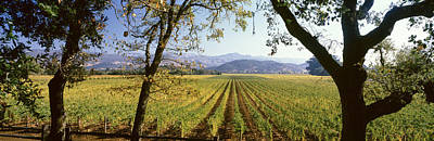 Vineyard In Napa Photograph - Vines In A Vineyard, Far Niente Winery by Panoramic Images