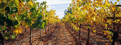 Winemaking Photograph - Vines In A Vineyard, Napa, Napa County by Panoramic Images