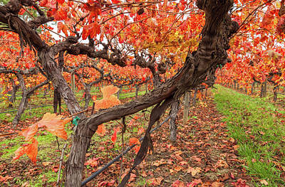Photograph - Vines In Autumn 2 by Jonathan Nguyen