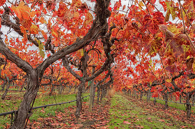Photograph - Vines In Autumn  by Jonathan Nguyen