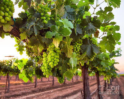 Photograph - Vineyard 3 by Anthony Bonafede