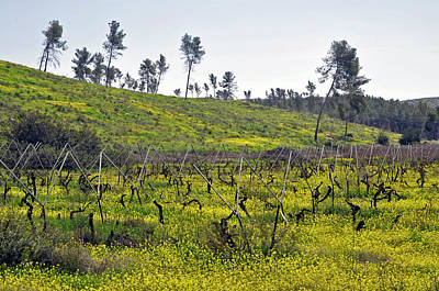 Photograph - Vineyard At Lachish by Dubi Roman