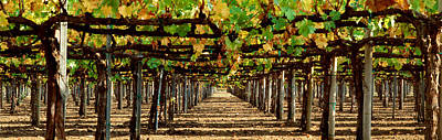 Grapevines Photograph - Vineyard Ca by Panoramic Images