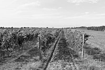 Photograph - Vineyard by Cendrine Marrouat