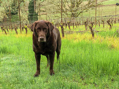 Photograph - Vineyard Dog by Jean Noren