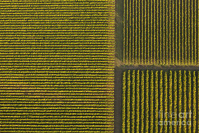 Vineyard From Above Art Print by Diane Diederich