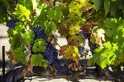 Vineyard Grapes Print by Garry Gay