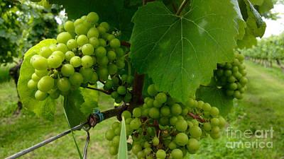 Wine Cellar Photograph - Vineyard Grapes by Jason Freedman