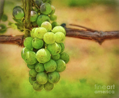 Photograph - Vineyard Grapes by Kerri Farley