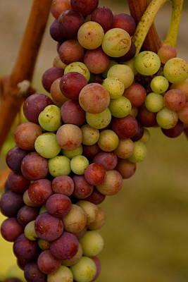Vineyard Grapes Art Print by Sonja Anderson