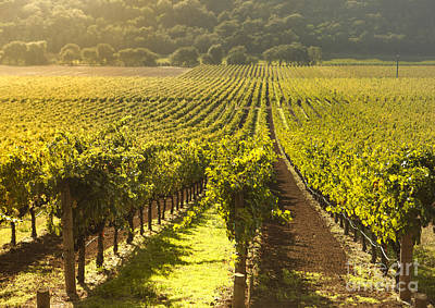 Grape Vines Photograph - Vineyard In Napa Valley by Diane Diederich