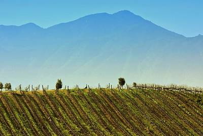 Vineyard In Tapihue Art Print