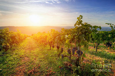 September Photograph - Vineyard In Tuscany, Ripe Grapes At Sunset by Michal Bednarek