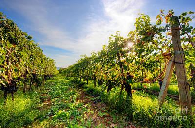 Vineyard In Tuscany, Ripe Grapes Print by Michal Bednarek