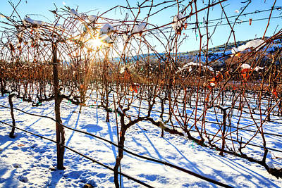 Photograph - Vineyard In Winter by Alexey Stiop