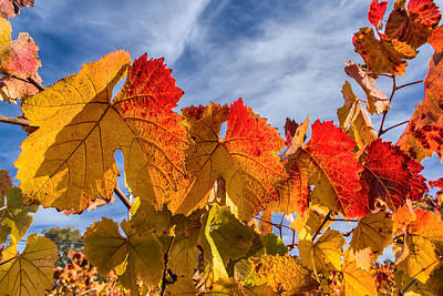 Photograph - Vineyard - Late Fall Color 5 by Jay Blackburn