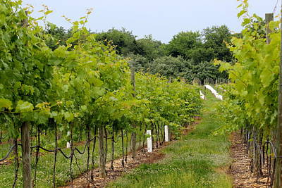 Grapes Photograph - Vineyard Path by Brian Manfra