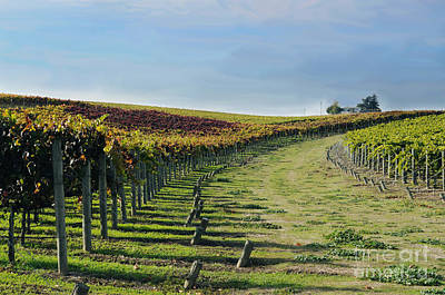 Photograph - Vineyard Shadows Livermore by Haleh Mahbod