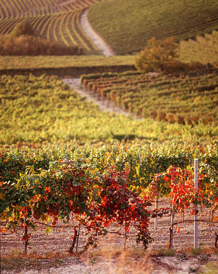 Wine Scene Photograph - Vineyards, Barbaresco Docg, Piedmont by Panoramic Images