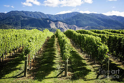 Photograph - Vineyards Of Marlborough by Scott Kemper