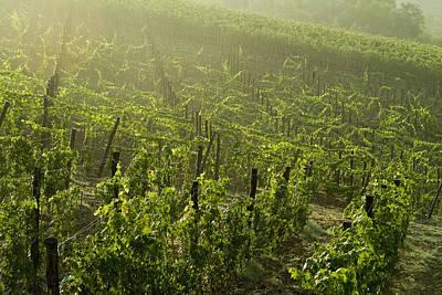 Vineyards Shrouded In Fog Art Print by Todd Gipstein
