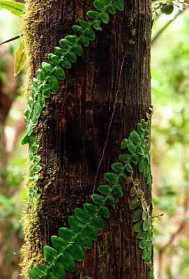 Vining Fern On Sierra Palm Tree Print by Thomas R Fletcher