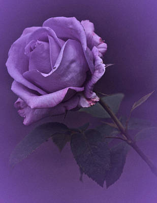 Photograph - Vintage 2017 Purple Rose by Richard Cummings