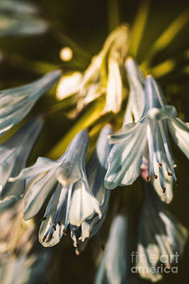 Trumpet Photograph - Vintage Agapanthus Flower by Jorgo Photography - Wall Art Gallery