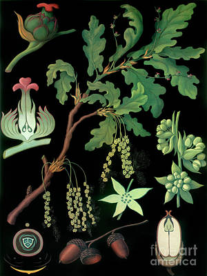 Organic Painting - Vintage Botanical by Mindy Sommers