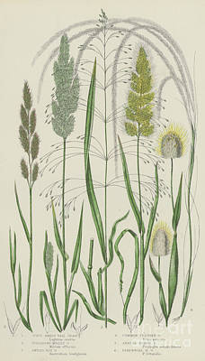 Fern Drawing - Vintage Botanical Print Of Grass Varieties by English School