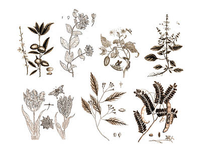 Vintage Botanicals In Sepia Home Decor Art Print by Karla Beatty