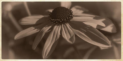 Photograph - Vintage Brown-eyed Susan by Garry McMichael
