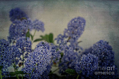 Photograph - Vintage Ceanothus by Jim And Emily Bush