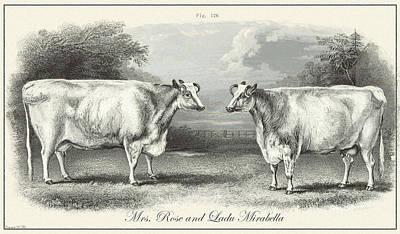 Drawing - Vintage Cows by Vintage Pix