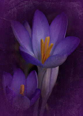 Photograph - Vintage Crocus 2017 by Richard Cummings