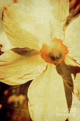 Blossom Photograph - Vintage Daffodil Haze by Jorgo Photography - Wall Art Gallery