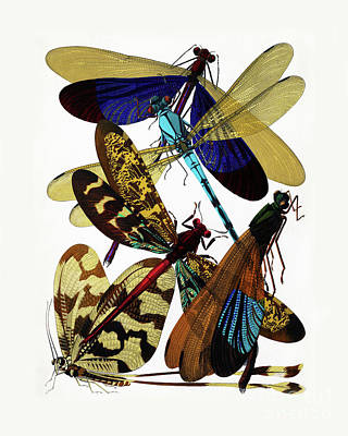 Biological Painting - Vintage Damselflies, Dragonflies Etymology Illustration by Tina Lavoie