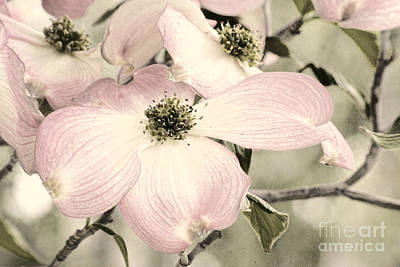 Photograph - Vintage Dogwoods by Jim And Emily Bush