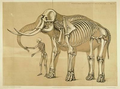 Animals Drawings - Vintage Elephant and Human Skeleton Illustration by VintageArtAssociates