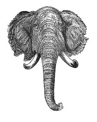 Animals Drawings - Vintage Elephant Head Illustration - 1872 by VintageArtAssociates