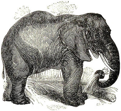 Animals Drawings - Vintage Elephant Illustration - 1891 by CartographyAssociates