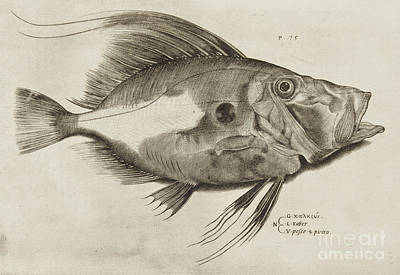 Angling Drawing - Vintage Fish Print by Antonio Lafreri