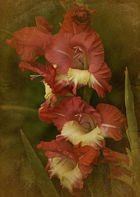 Gladiola. Red Gladiola Photograph - Vintage Gladiolus  by Richard Cummings
