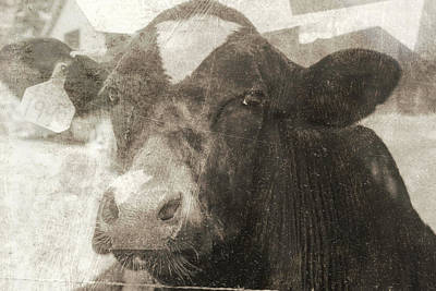 Photograph - Vintage Holstein Cow by Cathy Anderson