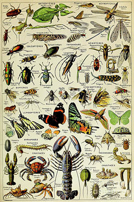 Beetle Painting - Vintage Illustration Of Various Invertebrates by Adolphe Philippe Millot