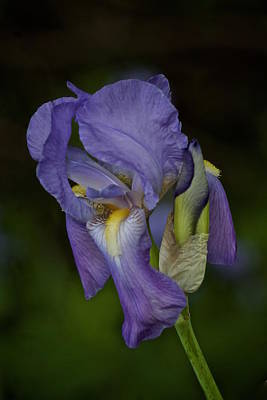 Photograph - Vintage Iris May 2017 by Richard Cummings