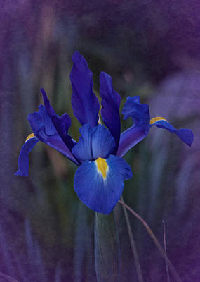 Photograph - Vintage Blue Magic Iris by Richard Cummings